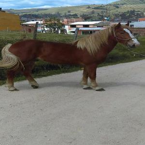 Caballo Percheron Belga Puro - Bogotá