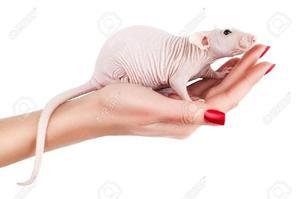 Hermosas Ratas Esfinge O Calvas - Cali