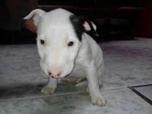 Adopto Bull Terrier O Bull Dog