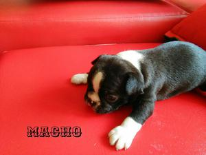 Boston Terrier Machos Y Hembras en Venta