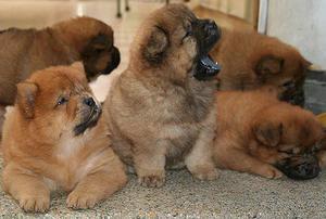 Cachorros Chow chow EN VALLEDUPAR con garantía de salud y