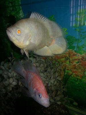 Peces oscar tigra para acuarios posot class for Vendo peces