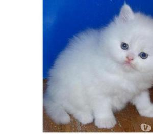 vendo hermosa gatita Angora