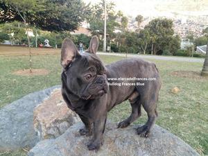 Monta Bulldog Frances Azul $ El Arca Del Frances