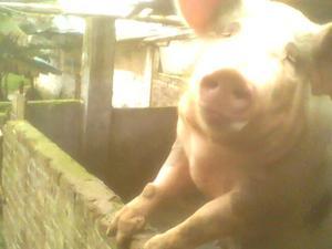 Vendo 10 cerdos para pesa, entre 80 kg90 kg