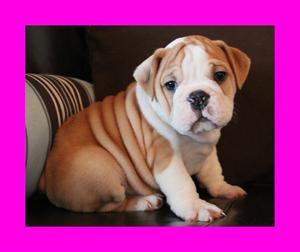 bulldogg cachorros en venta *envios nacionales*