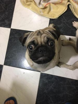 Lindo Cachorro Pug Genuino