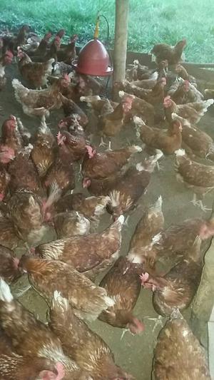 Criadero de gallinas ornamentales para la venta posot class for Vendo plantas ornamentales
