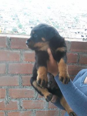 Tenemos en venta hermosas cachorras de Rottweiler de 2 meses