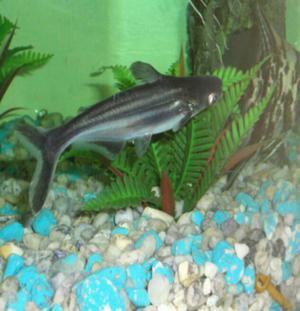 Pces ornamentales posot class for Criadero de peces ornamentales