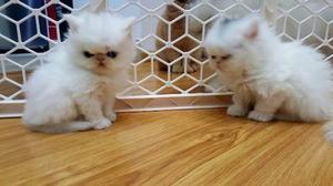 Gato Persa Y Exotico