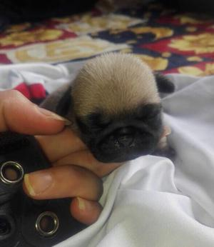 Hermosos Pug Carlinos