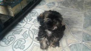 Se Vende Hermoso Cachorro Shih Tzu