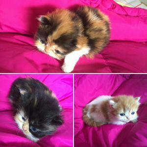 Coquetos Gatos Persa para La Venta