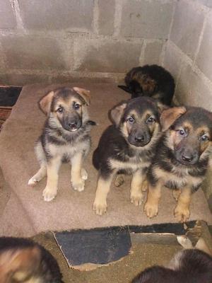 Vendo hermosas cachorras pastor aleman