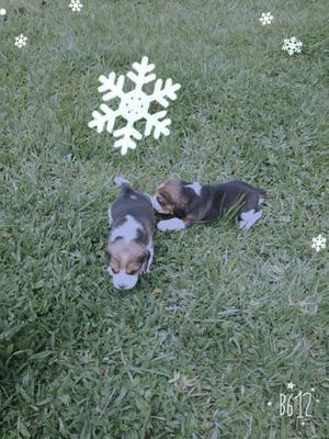 Venta de dos adorables Cachorros Beagle de raza, fácil
