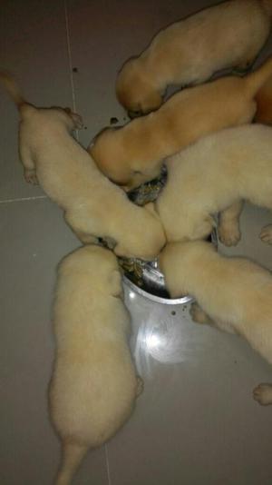 Labradores Hermosos