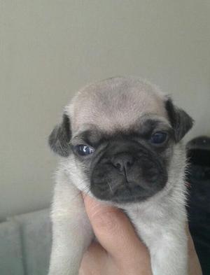 Hermosos Pug