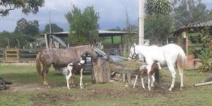 Yeguas Appaloosas