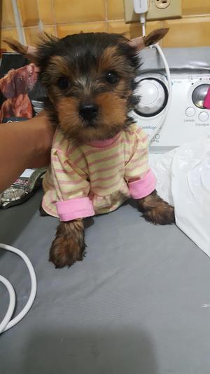 cachorra yorkshire terrier de 2 meses, vacunada