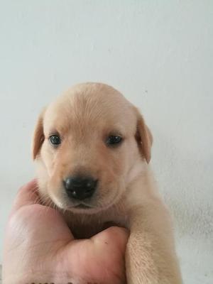 Hermosos Labradores Dorados
