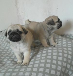 Hermosos Pug Bebes