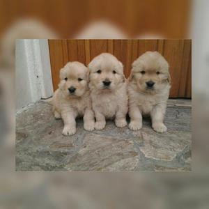 Peluditos Golden Retriver