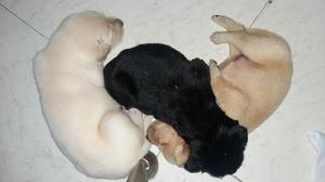 Cachorros labradores machos y hembras