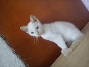 Se Vende Hermoso Gato Blanco