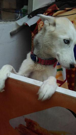 Siberiana Doy en Adopcion