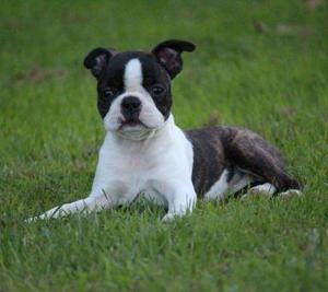 boston terrier cachorros excelente
