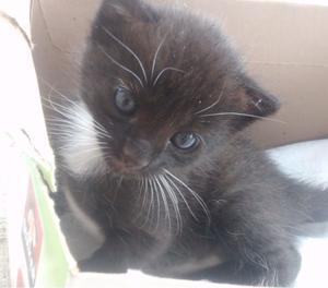 Se da en adopción gatita de un mes
