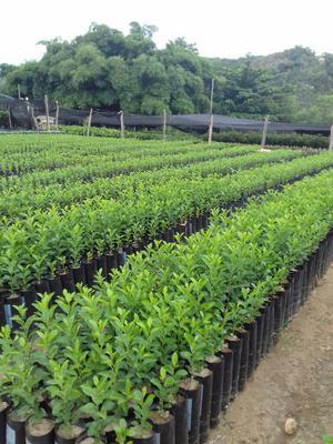 Vivero de plantas y arboles ornamentales cercos2 posot class for Viveros arboles frutales