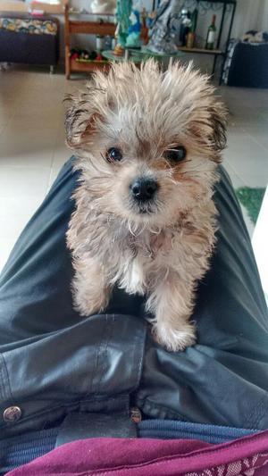 Vendo Hermoso Perrito de Raza Mini. York