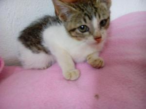 doy en adopción una gatita de 2 meses muy tierna