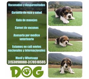 Venta de lindos cachorros beagle tricolor machos y hembras