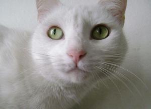Se Da en Adopción Gatita Blanca
