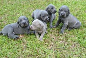 cachorros weimaraner