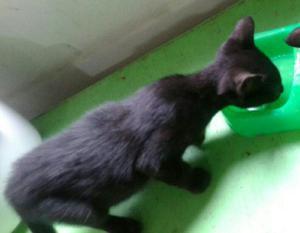 Adopción Gato de 3 Meses