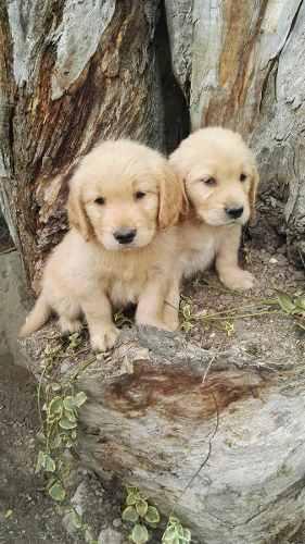 Cachorros Golden Retriever, Hermosos!!!