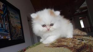 Disponible Gatica Persa Bicolor Blanca