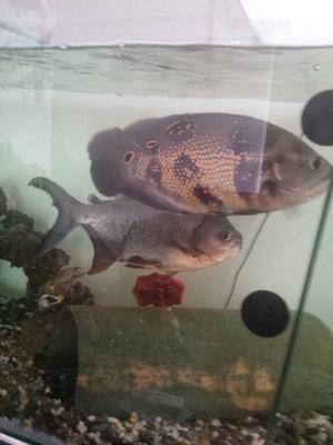Acuario peces oscar posot class for Vendo peces