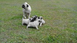 Lindos Cachorros Pug en Venta