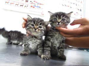 Venta de gatos Persa con angora mix
