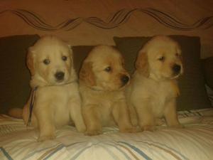 Divinos cachorros golden retriever en venta garantizados de