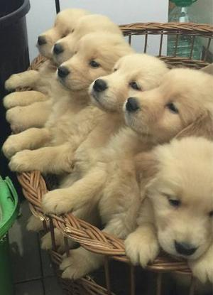 Cachorros Golden Retriever 100% Puros