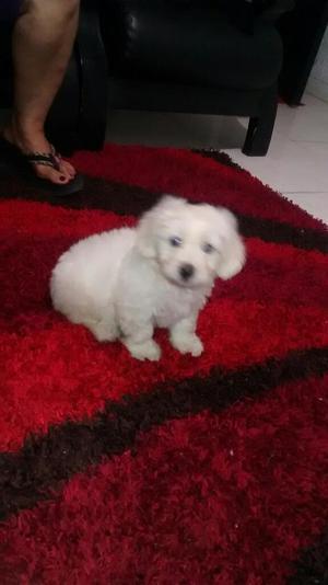 Cachorro Frensh Poodle Lindo