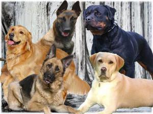 Recibo Busco recojo en adopción pastor alemán rottweiler
