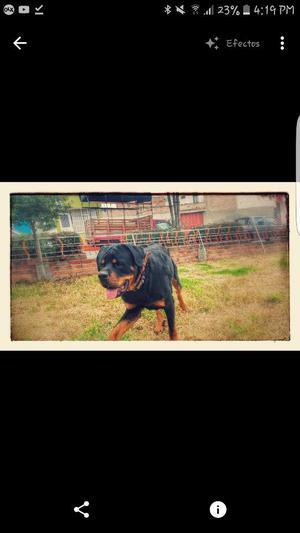 Rottweiler Busca Monta.