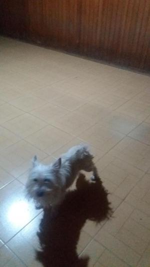 vendo west Highland White terrier Westy